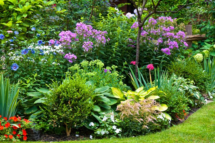 Pink, blue and purple garden color scheme with hibiscus, phlox and hydrangeas