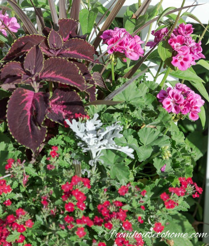 Monochromatic red garden color scheme in a pot with red-leaved Coleus, pink geraniums and red verbena