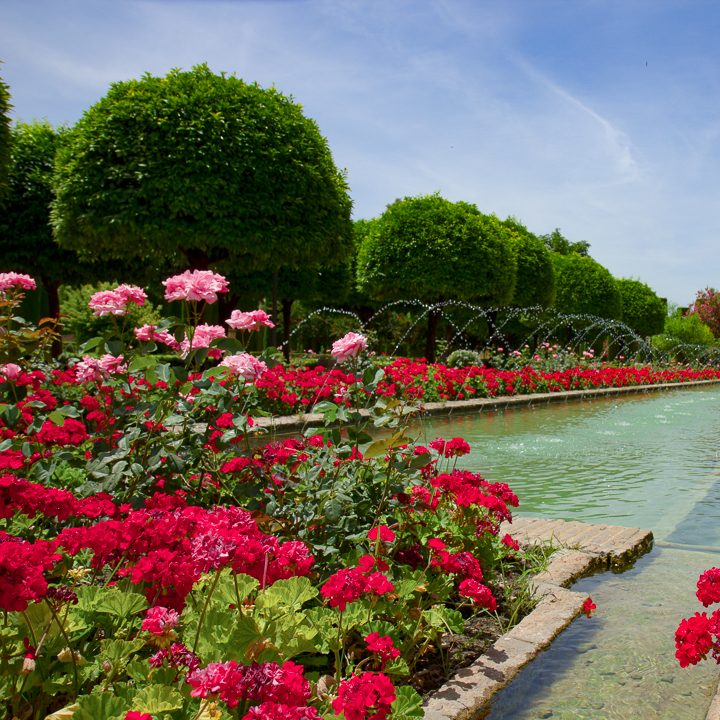 Monochromatic red garden color scheme with roses and annual geraniums (pelargoniums)