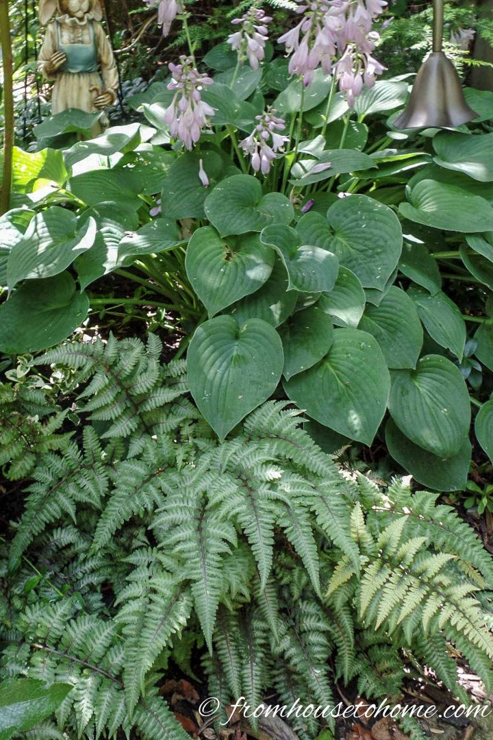 Shade plant combination of Hostas and ferns