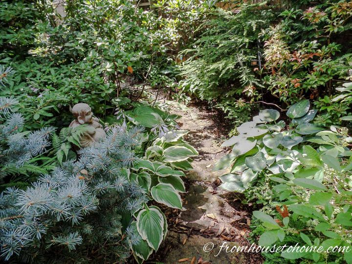 Shade plant combination of Hostas and evergreens