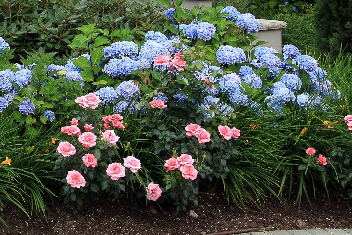 Plant combination with hydrangeas, roses and day lilies ©Barbara Helgason - stock.adobe.com