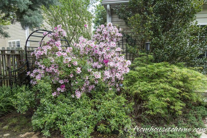 Plant combination with an Azalea, Japanes Maple and Camellia
