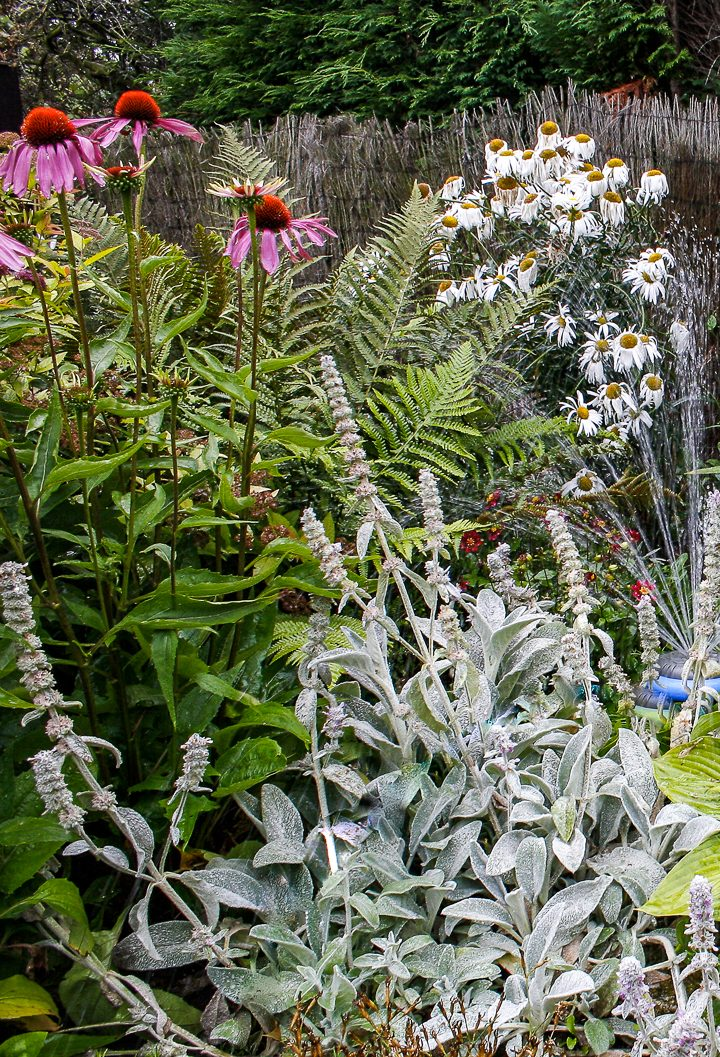 Sun loving plant combination with Lamb's ears, echinacea and daisies ©zollster - stock.adobe.com