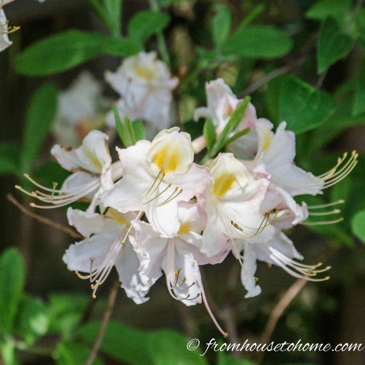 White flowering shrubs - Azalea