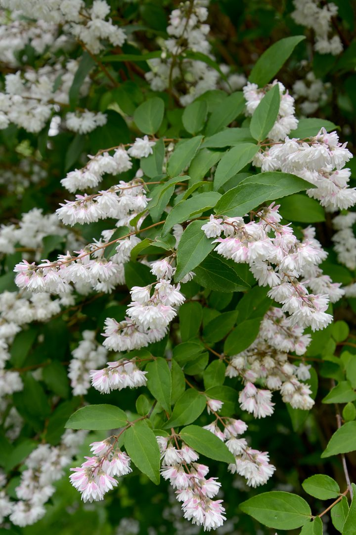 White flowering shrub - Deutzie scabra