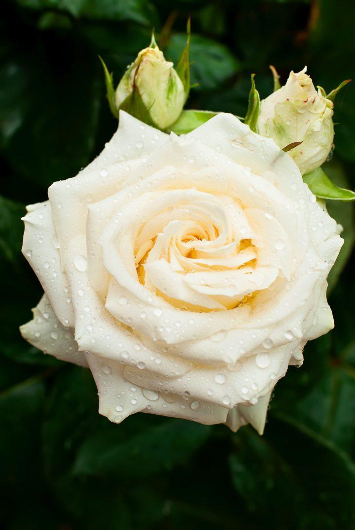 White flowering shrub - rose