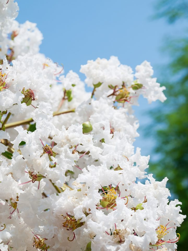 Crape Myrtle with white flowers