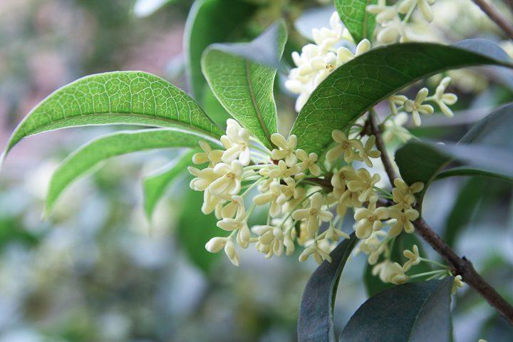 Fragrant Tea Olive (Osmanthus) ©chungking - stock.adobe.com