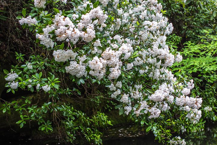 Mountain Laurel shrub with white flowers
