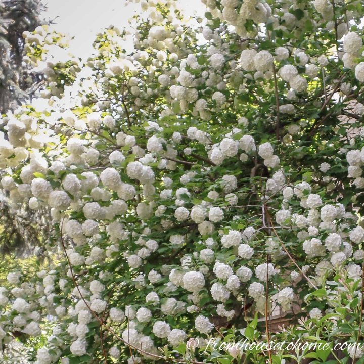White flowering shrub - Viburnum