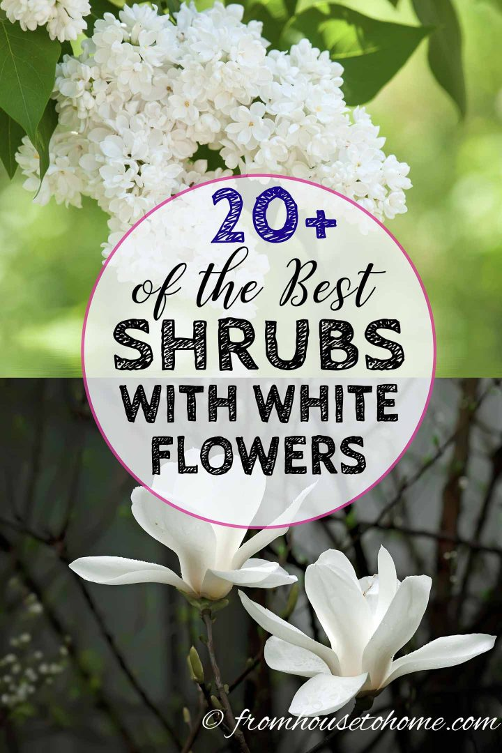 20 Of The Best White Flowering Shrubs Gardening From House To