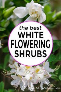 the best white flowering bushes