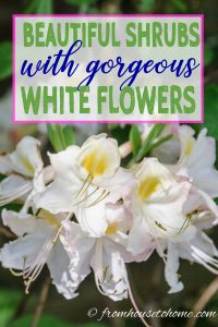 beautiful shrubs with gorgeous white flowers