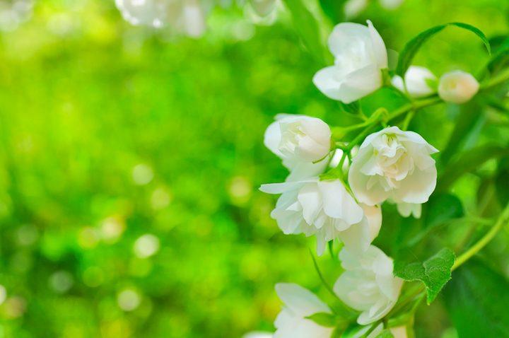 White double flowering Mock Orange (Philadelphus)