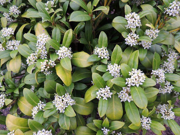 Daphne odora ©Zanoza-Ru - stock.adobe.com
