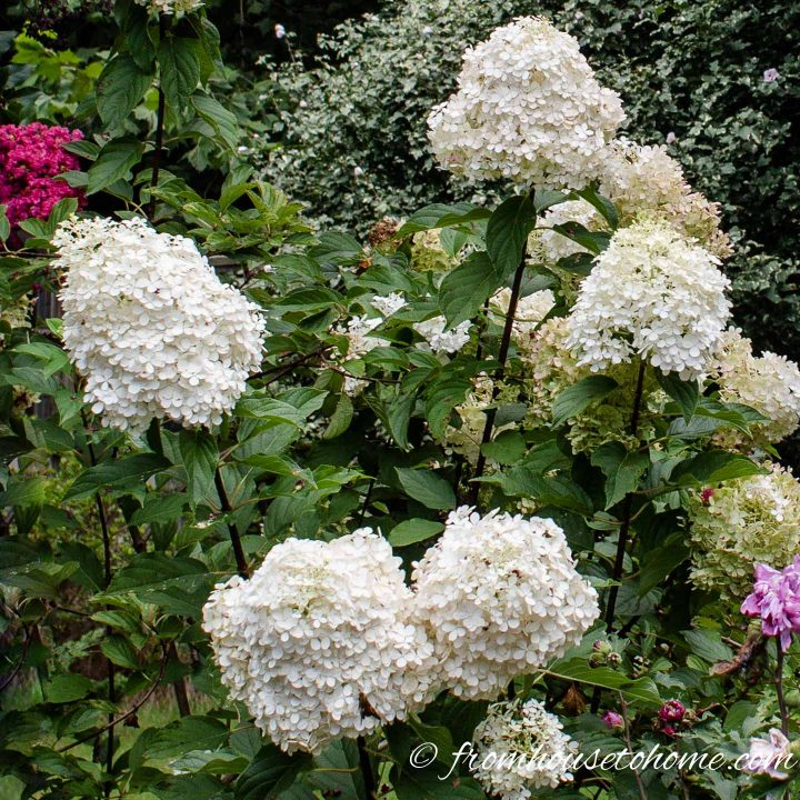 White flowering bush - Hydrangea paniculata