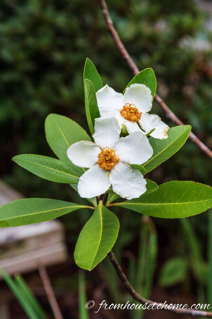 White flowering Ben Franklin tree
