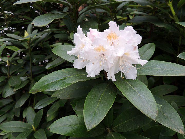 White flowering bush - Rhododendron ©Zanoza-Ru - stock.adobe.com