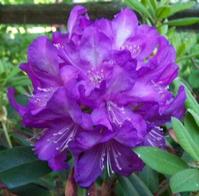 Bright purple Rhododendron flower