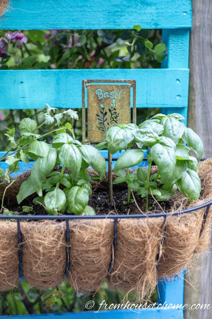 Herbs planted in a window box hung on a pallet painted blue