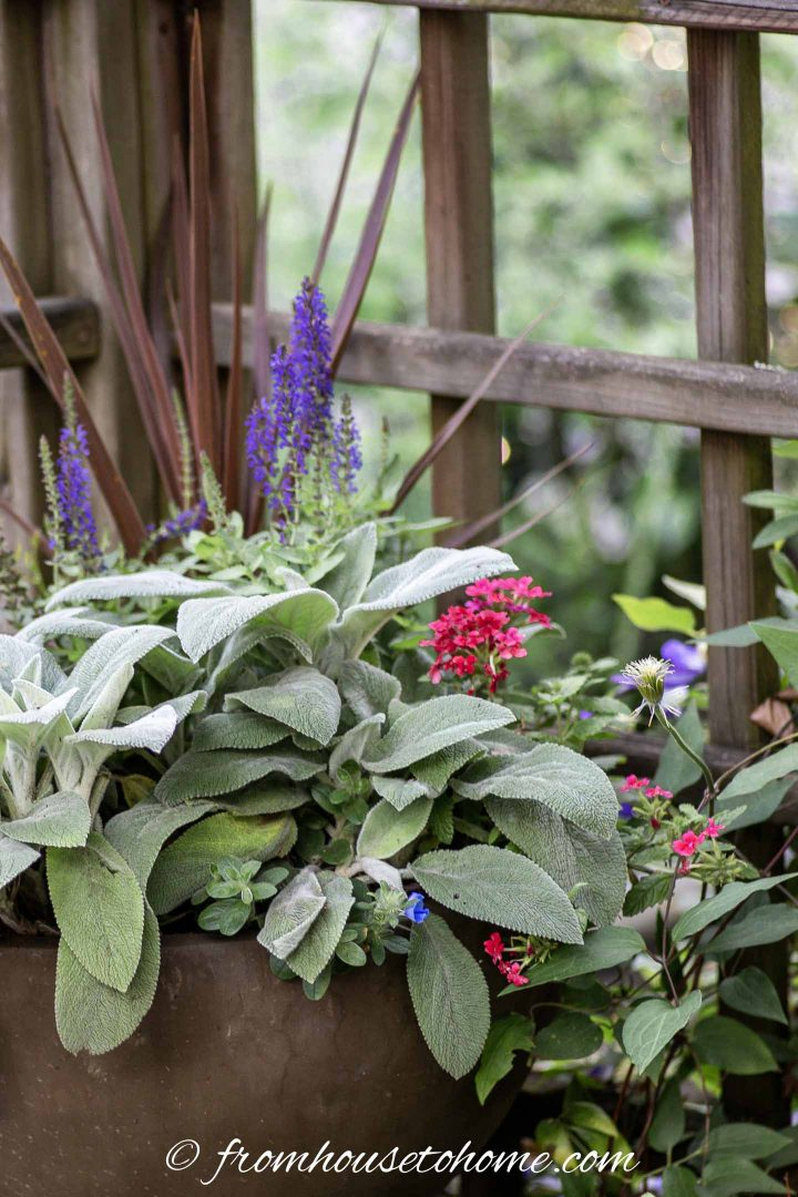 Patriotic red, white and blue flower combinations for sure with Salvia, Lamb's Ears and Verbena