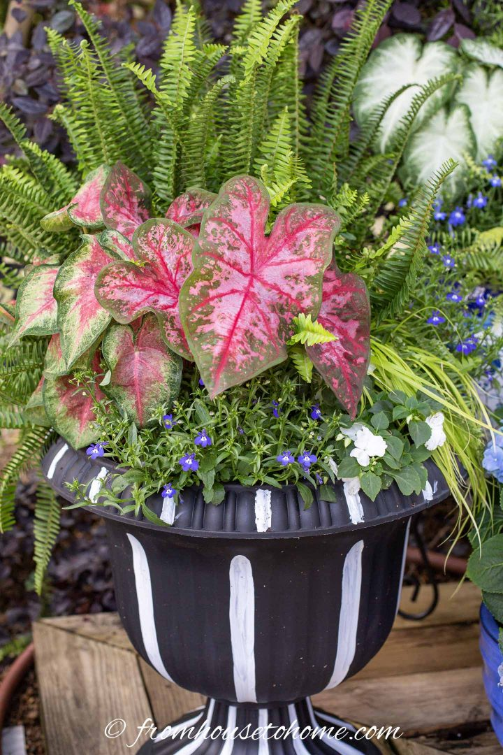 Red, white and blue flower pot with Caladiums, lobelia and impatiens