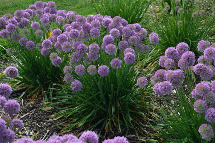 2020 new perennial - Allium 'Serendipity' (Ornamental Onion)