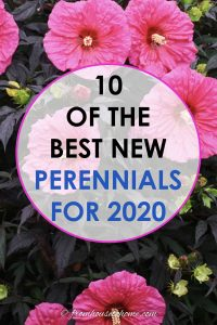 10 of the best new perennials for 2020