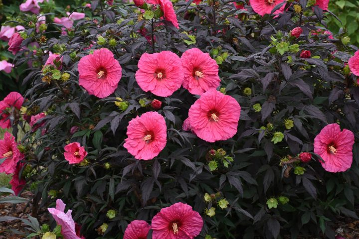 2020 new perennials - Hibiscus Summerific 'Evening Rose' (Rose Mallow)