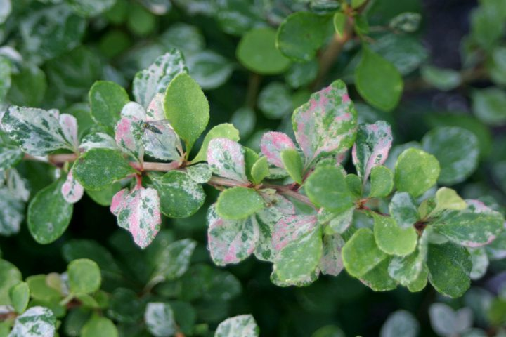 The variegated foliage of the new 2020 shrub Barberry 'Sunjoy Sequins™'