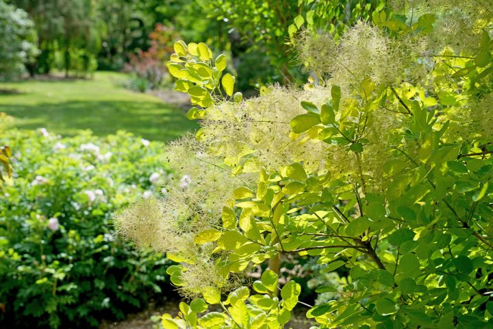 Smokebush 'Winecraft Gold®'