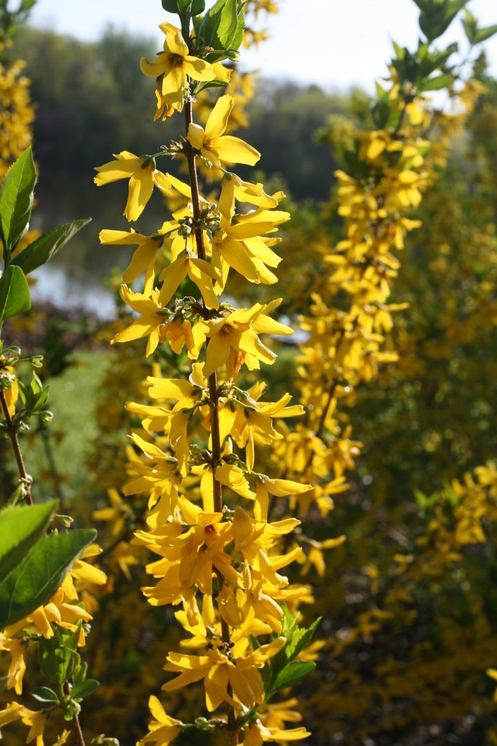 Forsythia 'Flying Machine®'