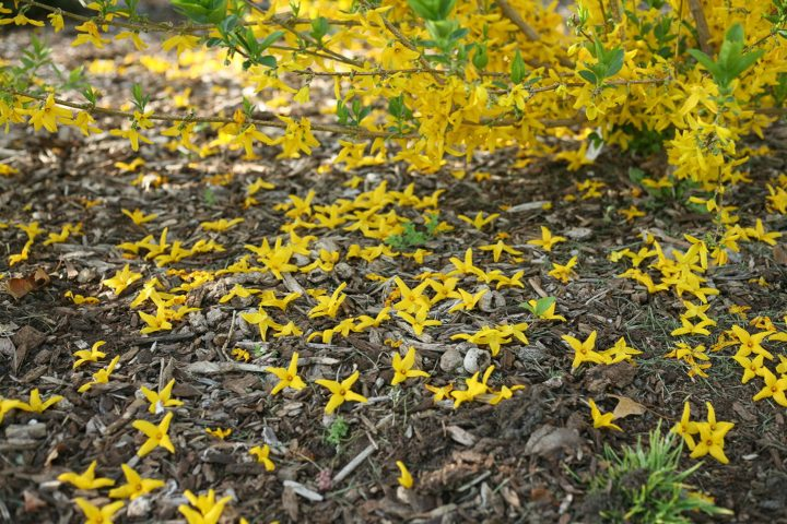Forsythia 'Flying Machine®' blossoms on the ground