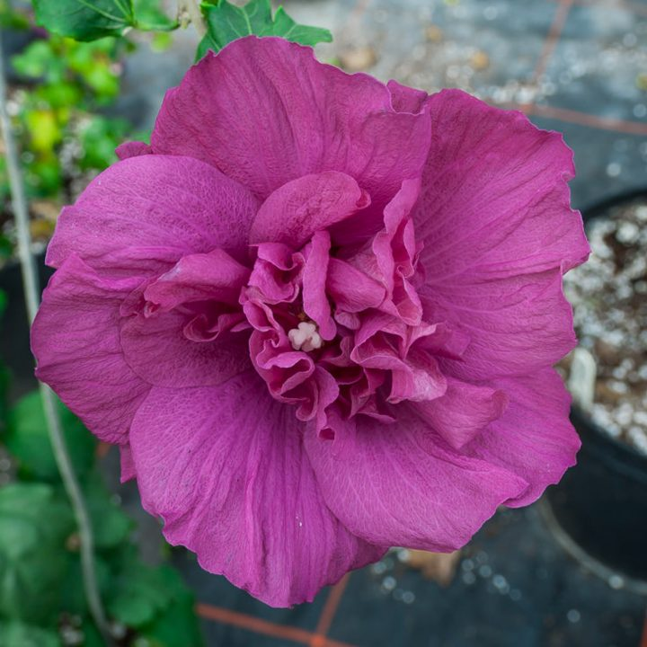 A magenta flower from the 2020 new shrub Rose of Sharon 'Magenta Chiffon®'
