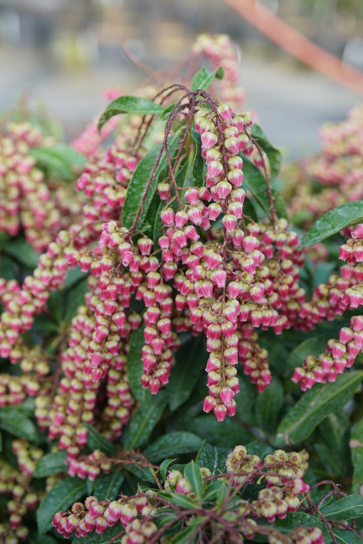 Lily of the Valley shrub 'Interstella®'