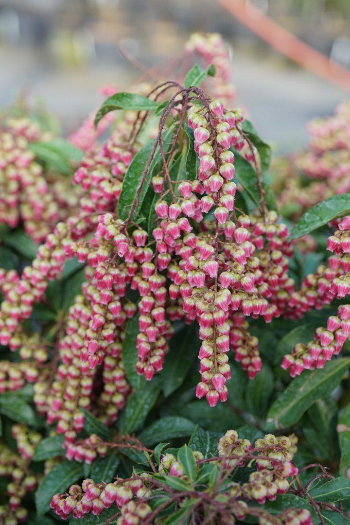 Lily of the Valley shrub 'Interstella®'