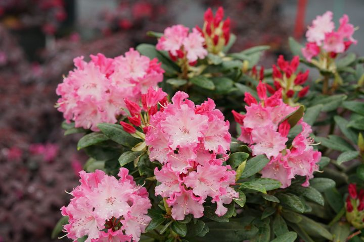 Rhododendron 'Dandy Man Color Wheel®'