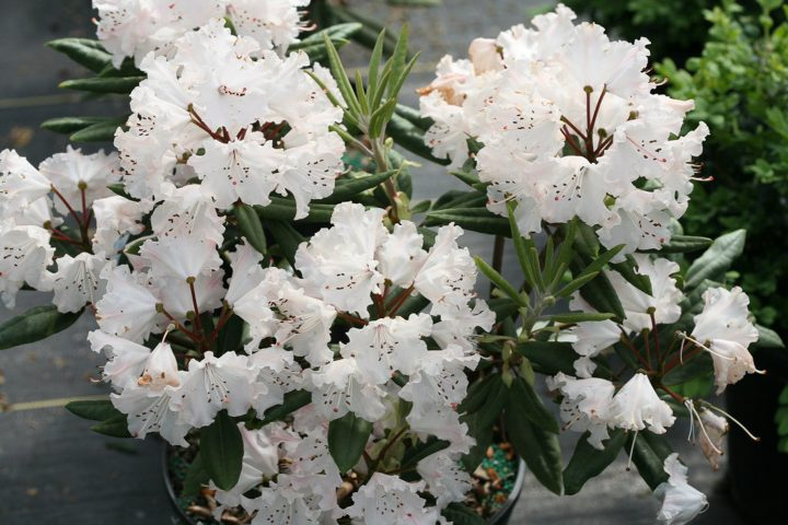 Mature white flowers of the new 2020 shrub Rhododendron 'Dandy Man Color Wheel®'