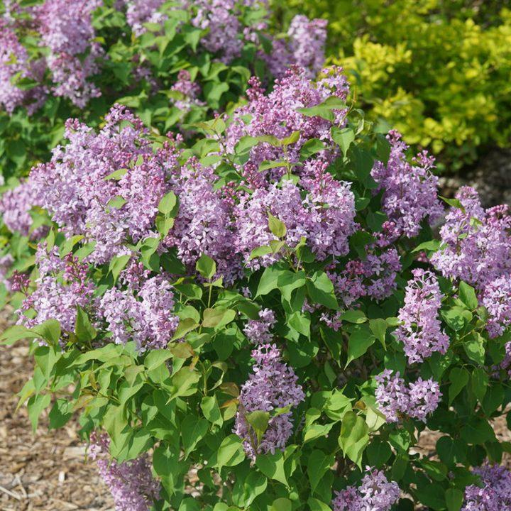Lilac 'Scentara Pura'