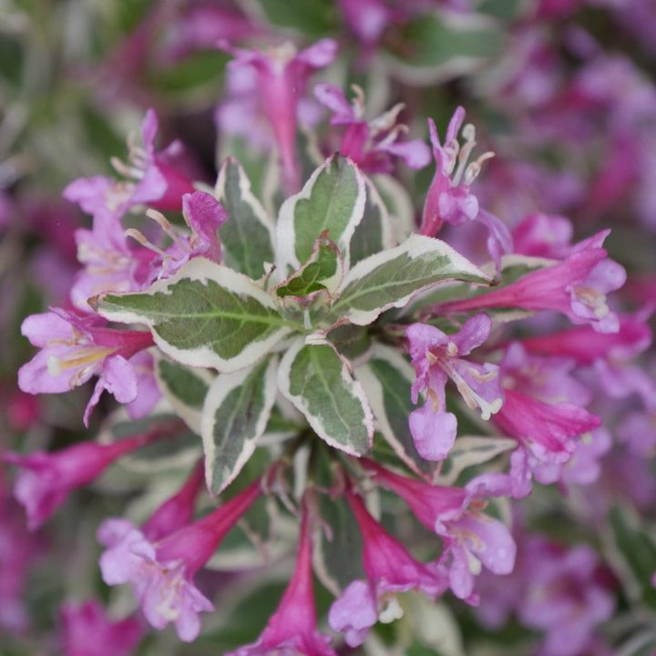The variegated leaves and purple flowers of the new 2020 shrub Weigela 'My Monet Purple Effect®'