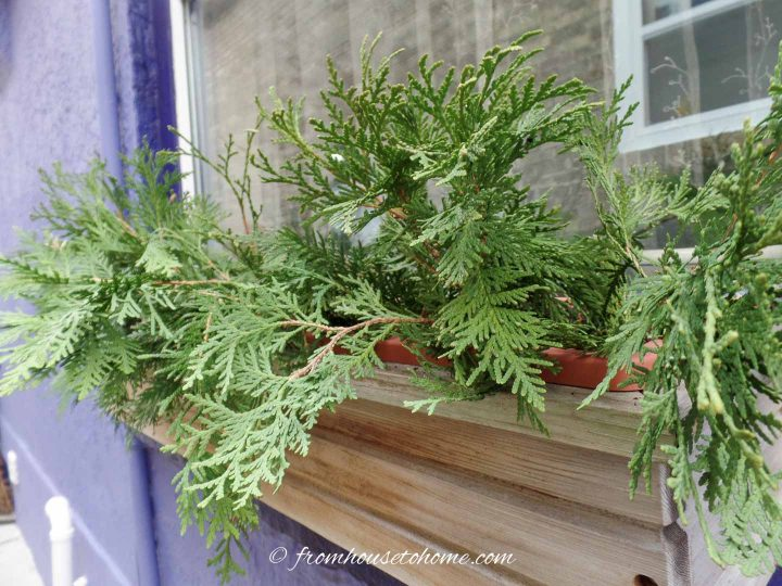 A window box with cedar branches