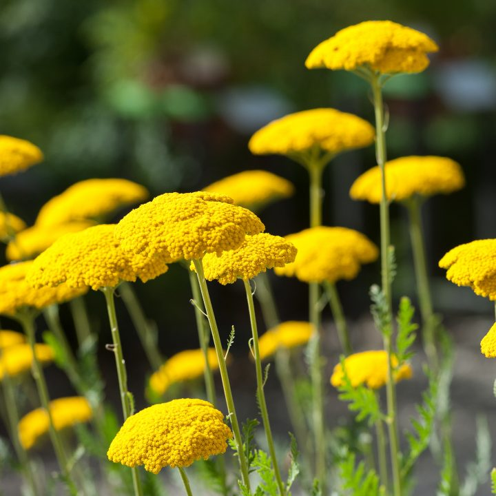 'Gold Plate' Yarrow