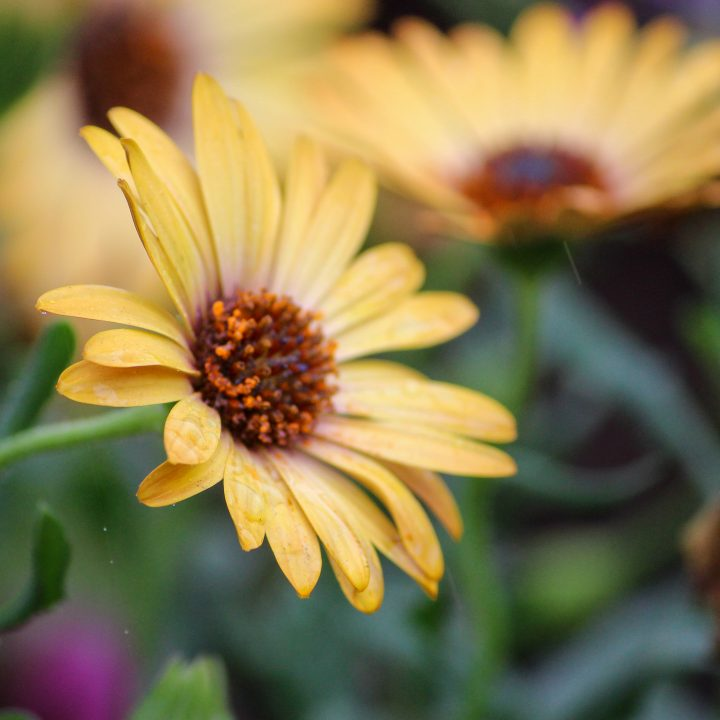 'Sunrise' coneflower