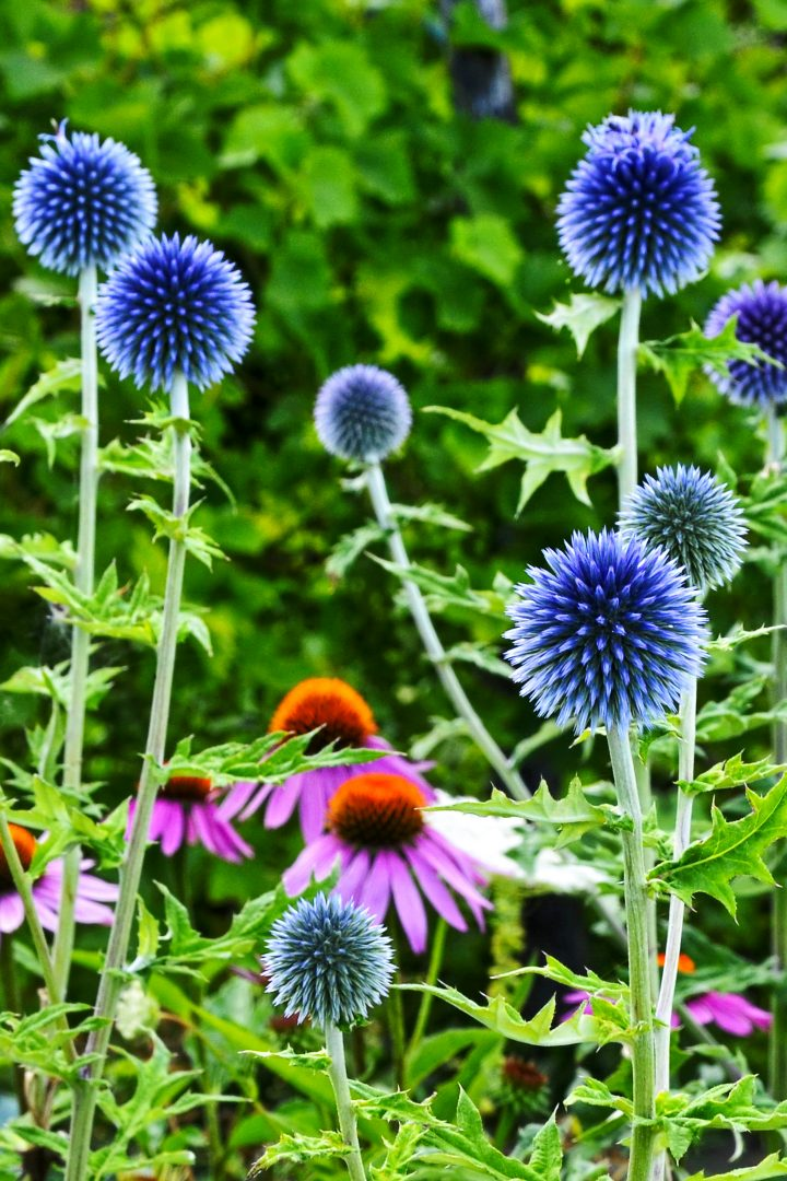 Blue globe thistle with pink coneflowers