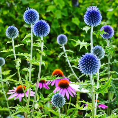 globe thistle and echinacea perennials in a full sun cutting garden