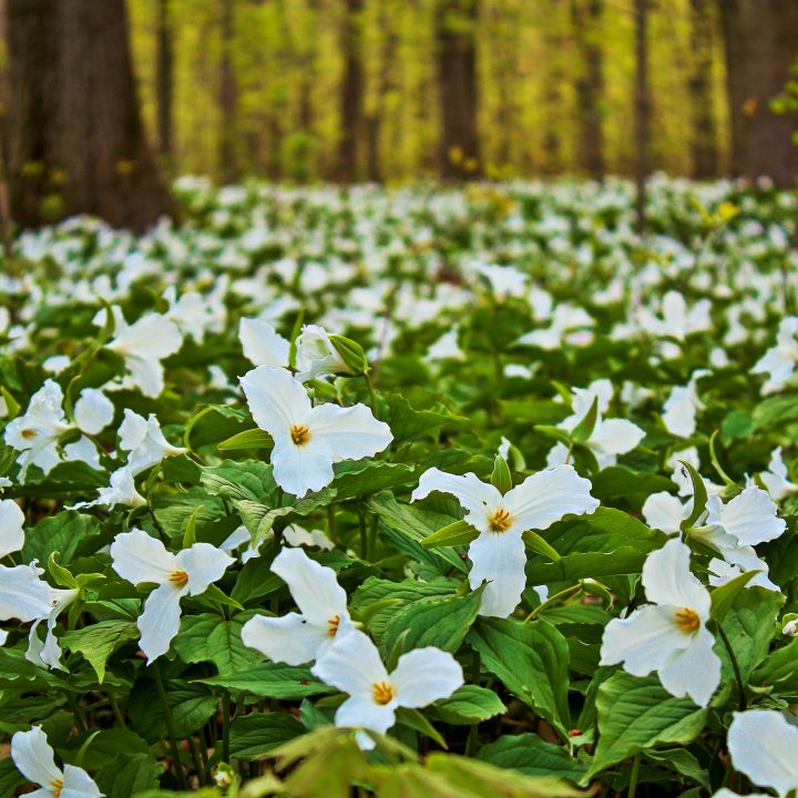 The ground covered in trilliums ©ehrlif - stock.adobe.com