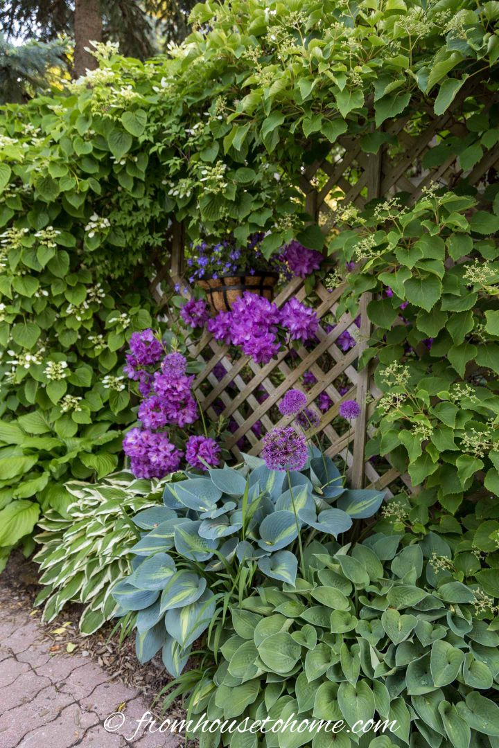 Rhododendrons, Alliums, Hostas and Hydrangea vine growing in a shade garden bed beside a driveway