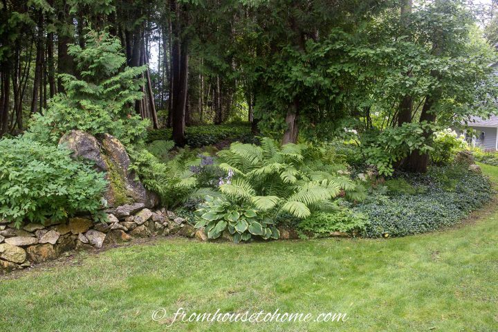 Backyard woodland garden with Hostas and ground cover