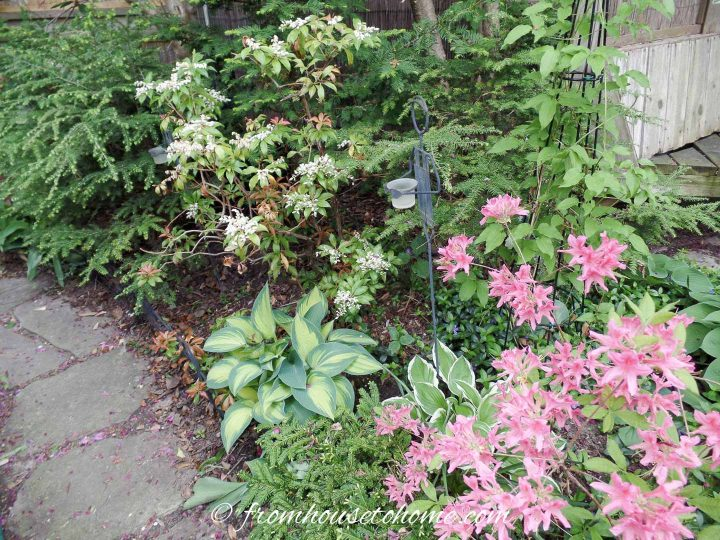 Small garden bed with Hostas, Azalea and evergreens